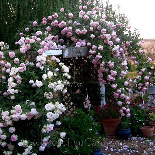 Tao nhã thanh tao cho khu vườn với các mẫu chậu cây cảnh đẹp